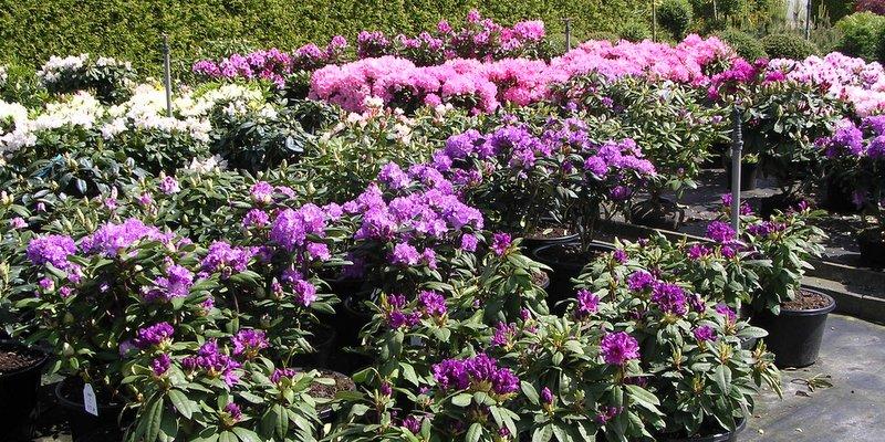 Rhododendrons in soorten