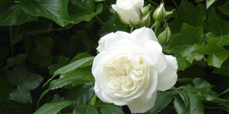Rosa 'Climing Schneewittchen'