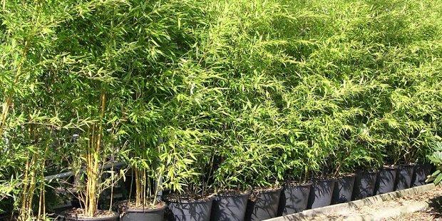 Bamboes en siergrassen