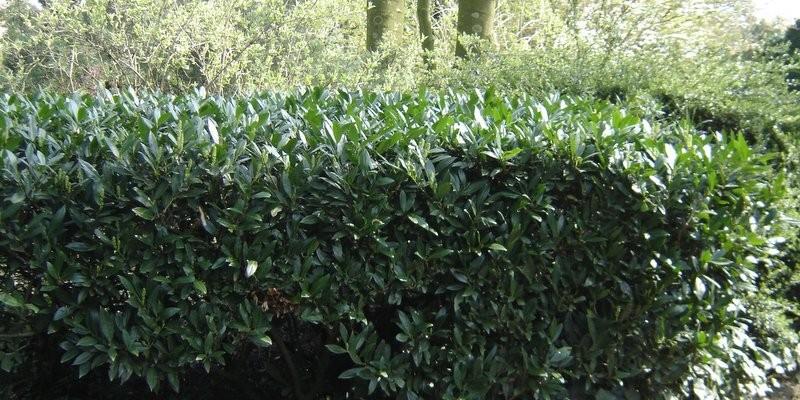 groenlijvende haagplanten
